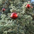 Живи коледни дръвчета в Габрово